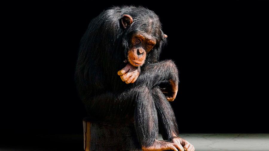 Marcados de por vida: la otra cara de los chimpancés actores y mascotas