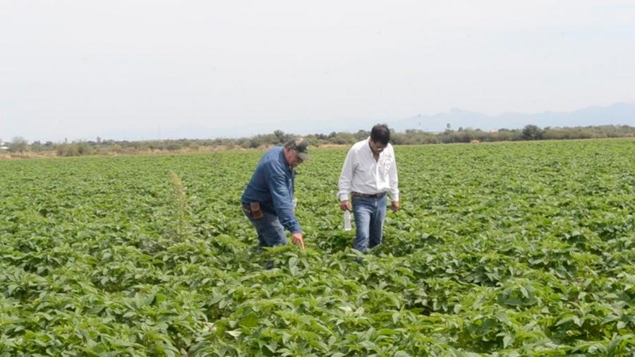 Investigadores mexicanos logran pastos tropicales más productivos y rentables