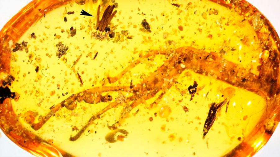 Descubierto un ámbar único de hace 100 millones de años conservando fósil de moho del fango