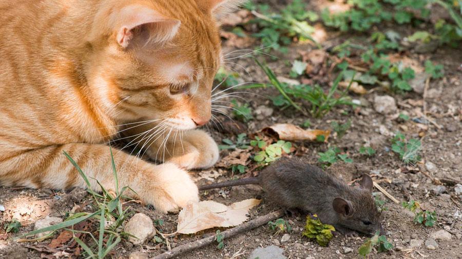Tienen gatos un parásito que reduce el miedo y la ansiedad de los ratones