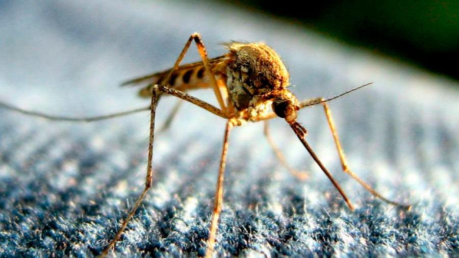 Diseñan mosquitos para repeler el virus del dengue