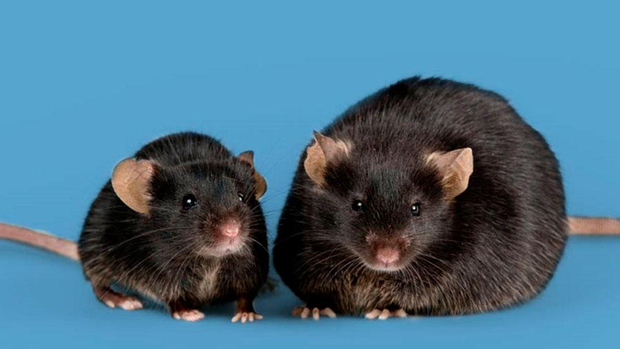 Encuentran receptor capaz de prevenir y revertir la obesidad