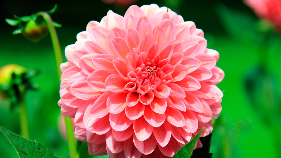 La dalia, flor endémica de México, ayudaría a combatir la diabetes, revela un estudio