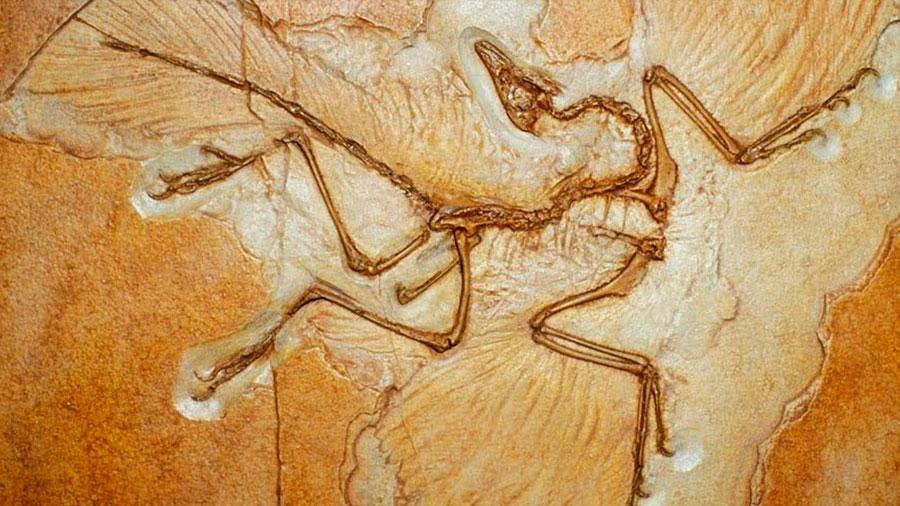 Descubren a nueva especie de dinosaurio con alas en China: el dragón danzante