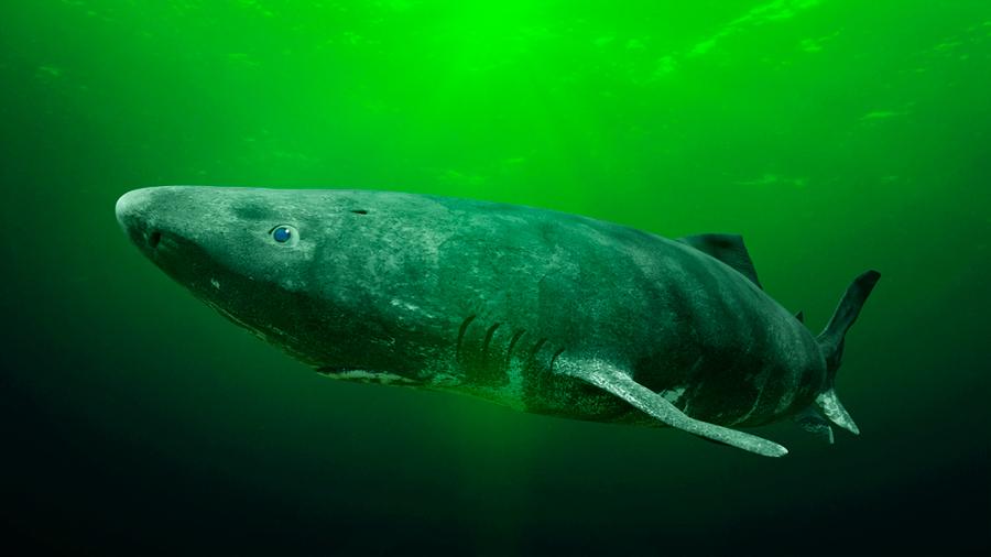 Encontraron un tiburón vivo de más de 200 años y tiene sorprendidos a los científicos