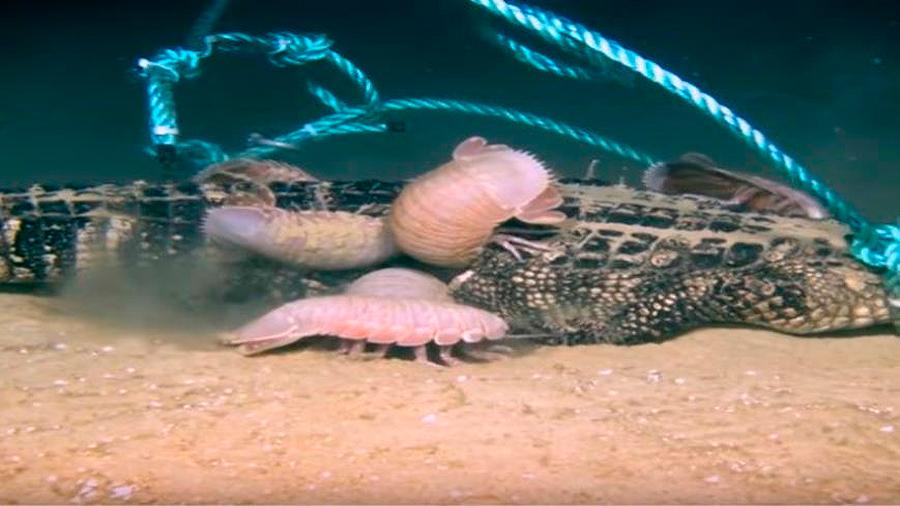 Descubren a un extraño animal que devora cadáveres en el fondo del mar