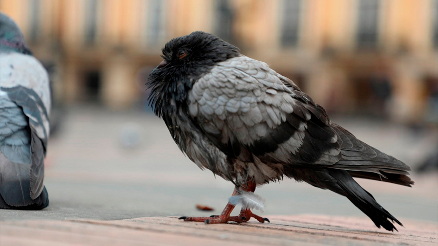 Verdad terrible: mechones de cabello son causa de las amputaciones en las patas de palomas
