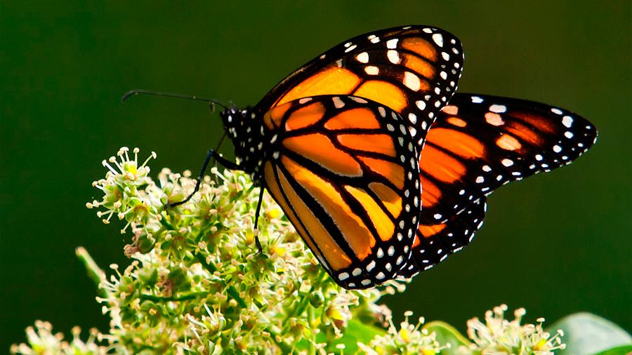 Población de mariposas monarca en California se desploma por segundo año consecutivo