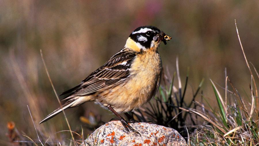 Prodigiosa vida sexual del ave que practica el amor libre