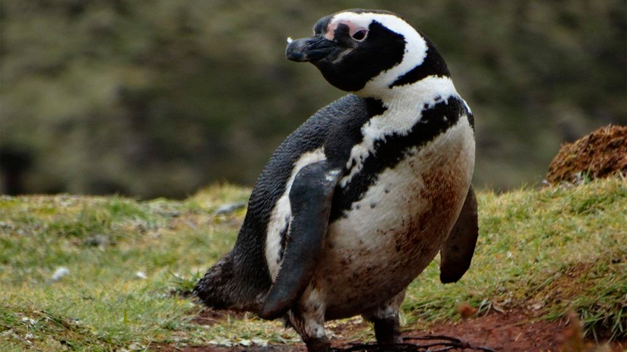 Científicos descubren una nueva colonia de pingüinos de Magallanes