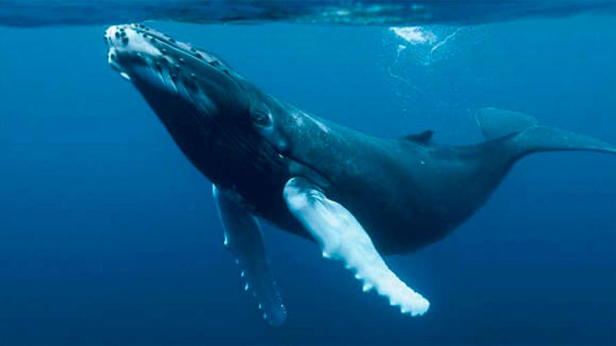 El corazón de la ballena azul late sólo dos veces por minuto