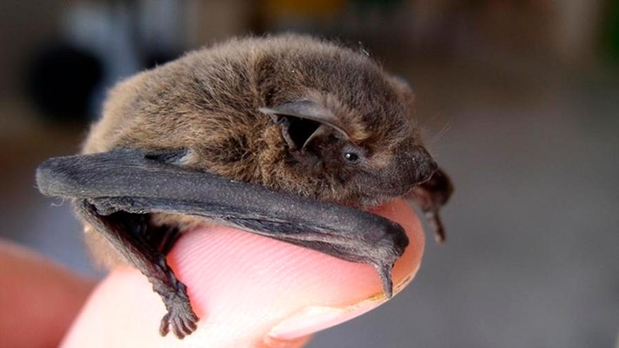 Los científicos encuentran una relación entre el nuevo coronavirus y los murciélagos