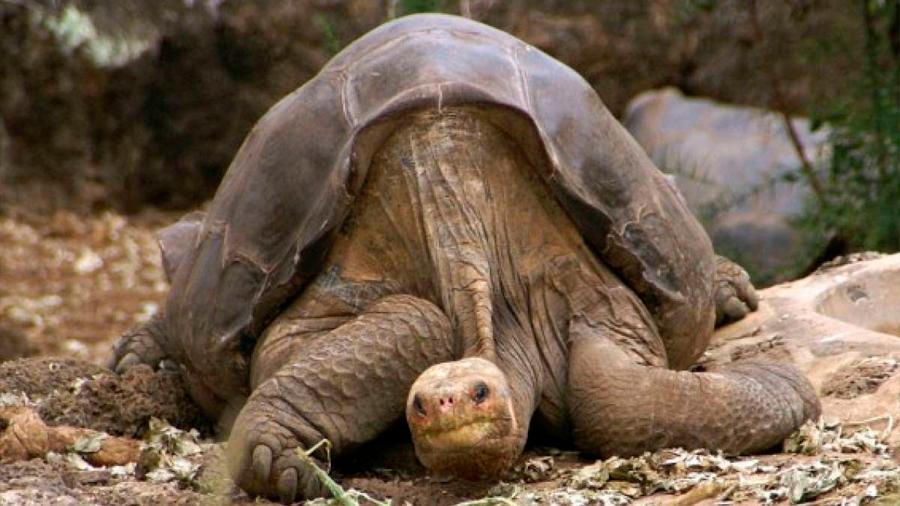 """Hallan tortuga con linaje del extinto """"Solitario George"""""""