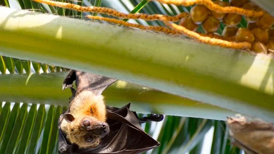 Murciélagos no son culpables del coronavirus: Biólogo de la UNAM