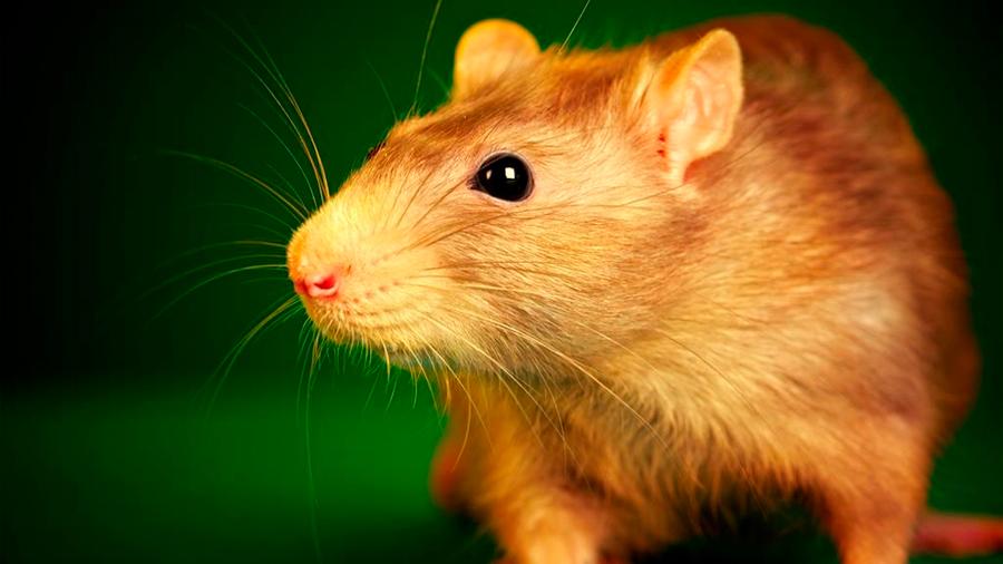 Describen el circuito cerebral que controla el deseo sexual en ratones hembra