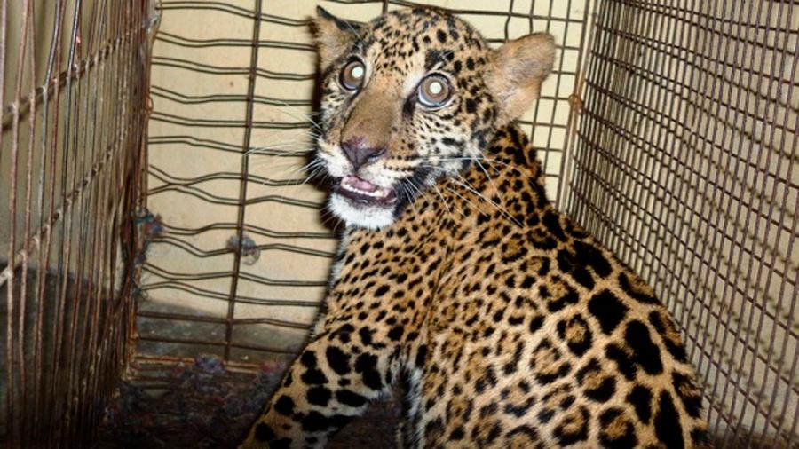 Investigador denuncia tráfico de jaguares de México a China para venta de sus genitales