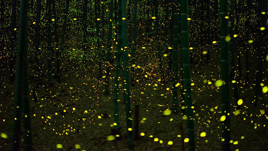 Pérdida de su hábitat, contaminación lumínica y pesticidas amenazan la supervivencia de luciérnagas