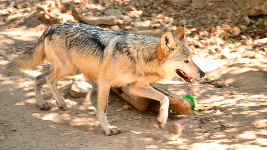 El lobo mexicano, la especie que buscan salvar de la extinción