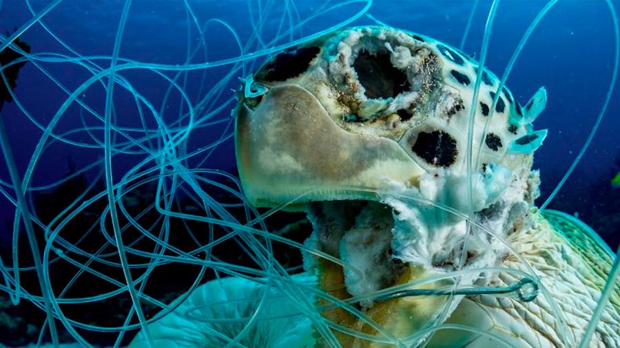 Impactante imagen de una tortuga muerta enredada en un hilo de pescar gana premio de fotografía