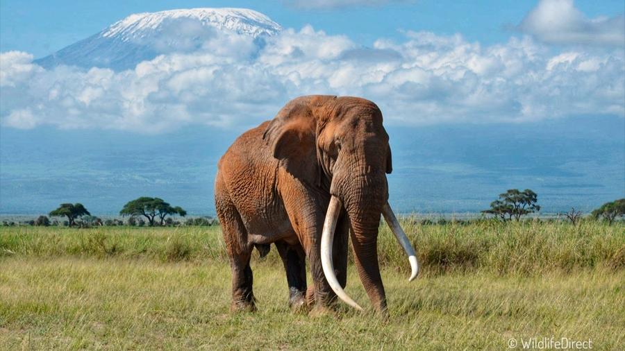 Muere uno de los últimos elefantes con colmillos gigantes en Kenia