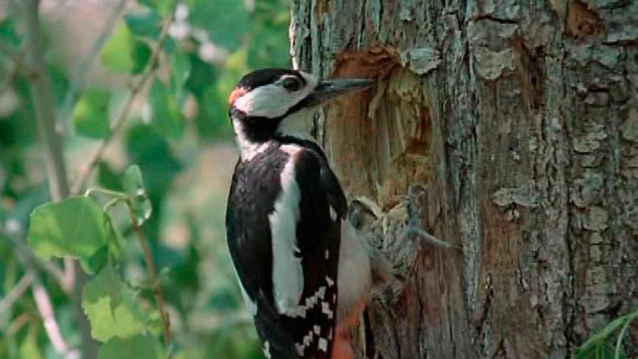 El truco de los pájaros carpinteros para no sufrir lesiones cerebrales cuando picotean los troncos