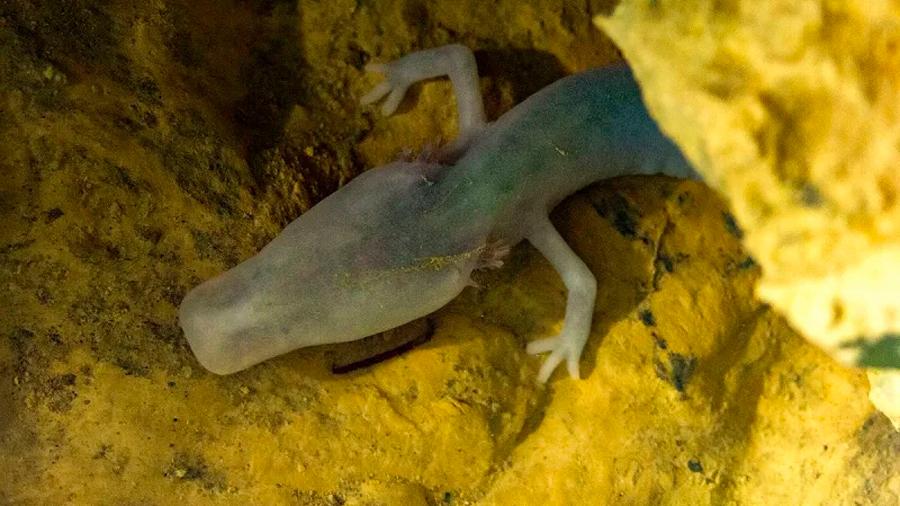 Biólogos asombrados con una salamandra que lleva más de 2,500 días sin moverse de su posición