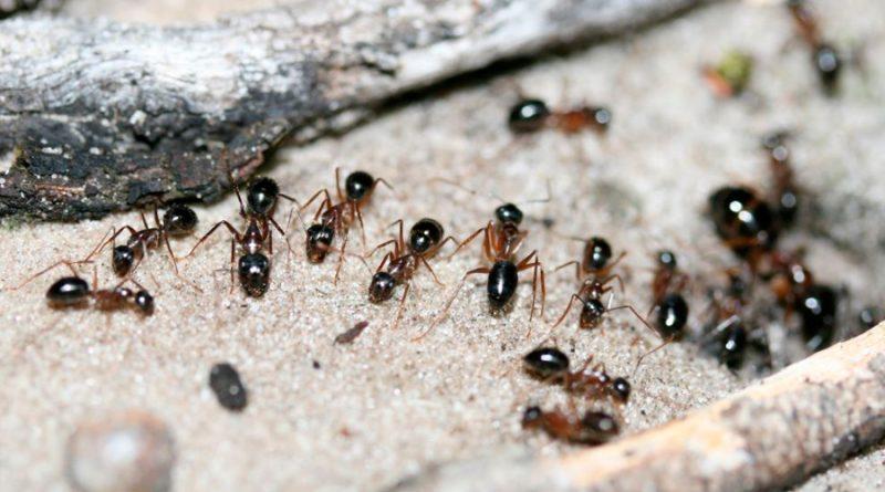 Australia: hormigas extraen orina de canguro de la tierra para obtener nitrógeno