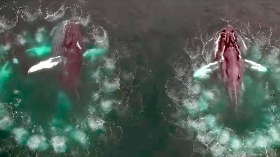 Logran apreciar muestra cómo las ballenas jorobadas se alimentan mediante burbujas