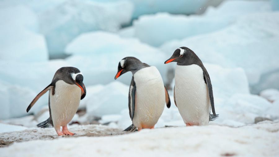 La población de pingüinos barbijo en la Antártida se reduce drásticamente