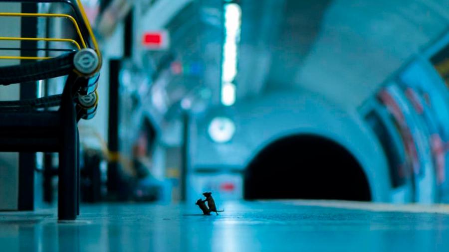 Sorprendente fotografía de dos ratones peleando en el metro ganó en un concurso de vida silvestre