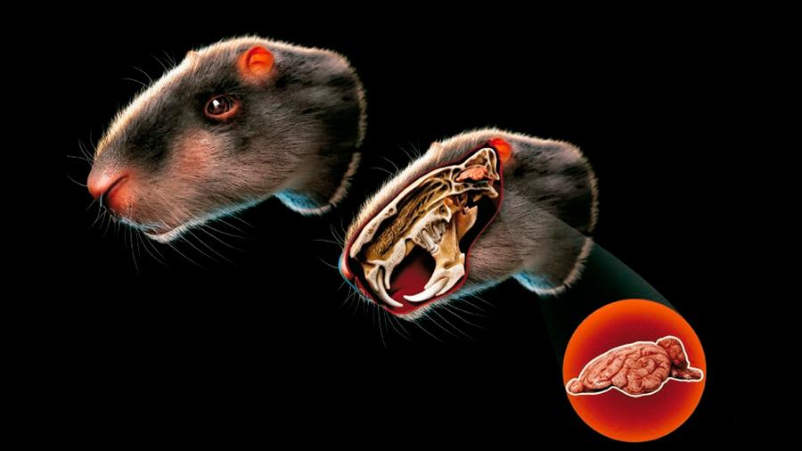 Un roedor extinto de tamaño humano tenía un cerebro de sólo 113 gramos
