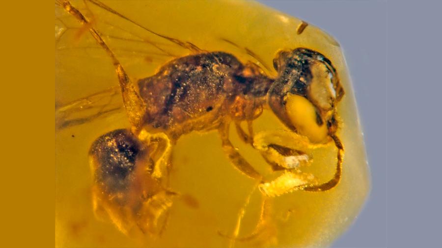 Hallan preservada en ámbar una abeja con polen de 100 millones de años