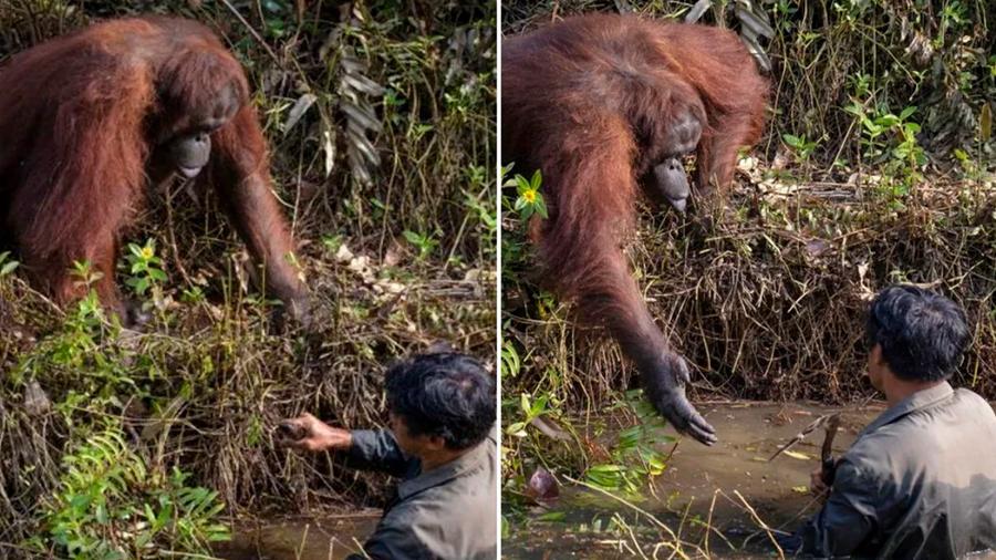 Orangután quiso ayudar a hombre que estaba en lago lleno de serpientes
