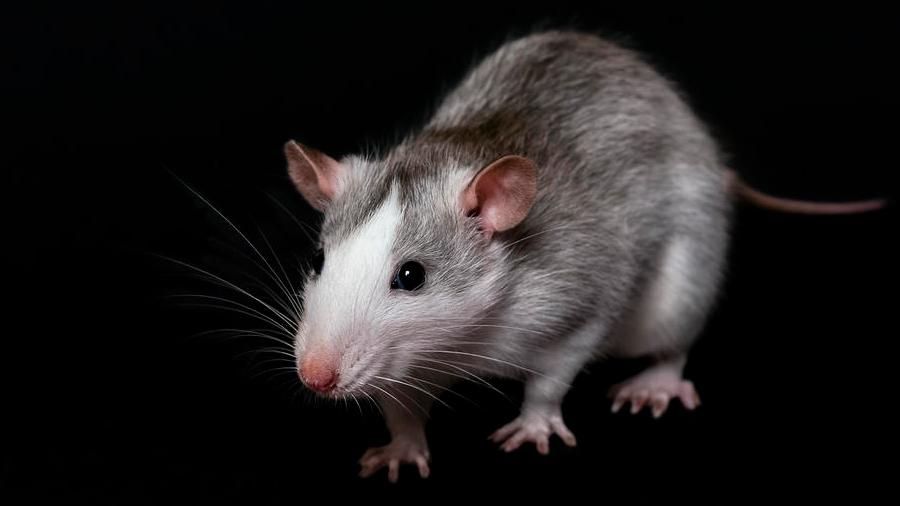 Con edición genética, logran prevenir una rara enfermedad hepática en ratones
