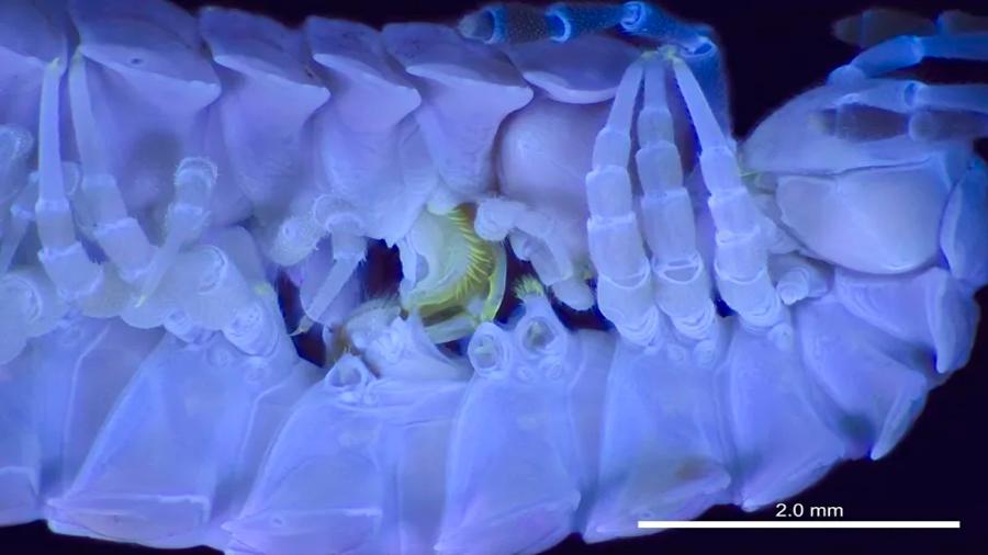 Científicos logran fotografiar por primera vez cómo copulan los milpiés