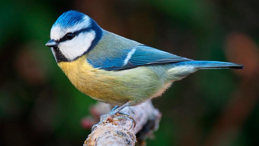 Pájaros aprenden a evitar alimentos no deseables viendo a otros en TV