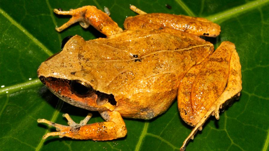 Más de la mitad de especies de anfibios de México está en peligro de extinción