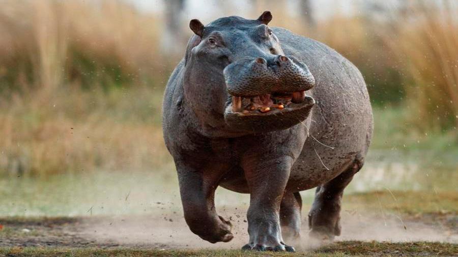 En 2050, los 4 hipopótamos de Pablo Escobar se habrán hecho miles