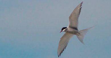 Esta es la migración de un ave más larga jamás registrada: 90 mil kilómetros