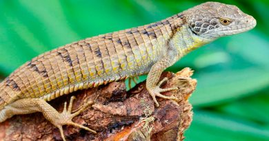 Descubren nueva especie en una región de México: el Dragoncito de Sierra Morena