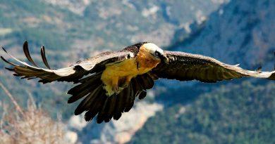 Nace en Picos de Europa el primer quebrantahuesos desde su extinción en ese territorio