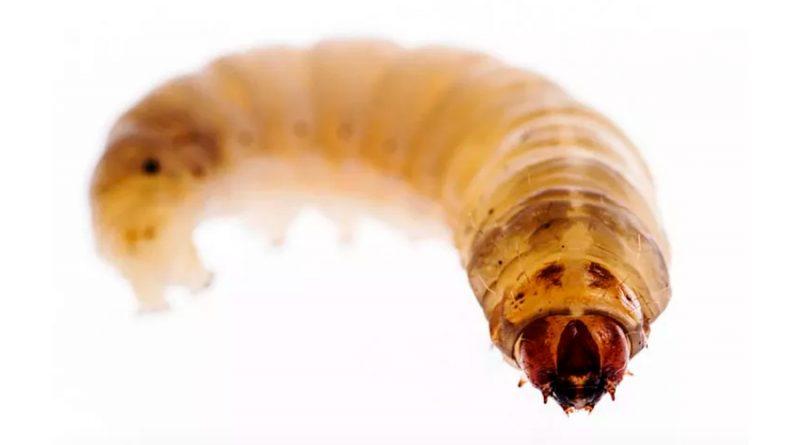 Orugas que comen plástico tienen bacterias digestivas que pueden vivir de polietileno más de un año
