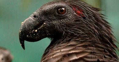"""Los """"loros de Drácula"""" podrían ser las aves más góticas de la Tierra"""
