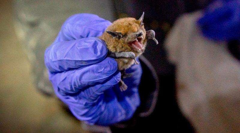 Los murciélagos son almacenes de virus que pueden saltar a los humanos