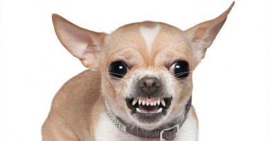 Los chihuahua son perros más violentos que los pitbull y un estudio lo confirma