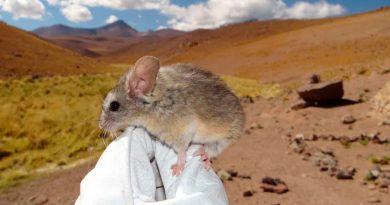Encuentran al primer mamífero capaz de habitar a más de 6,700 metros de altura, y es toda una sorpresa