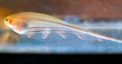 Prueban con éxito en peces el trasplante de cerebros
