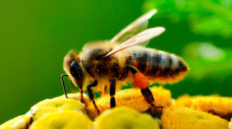 """En los últimos años los científicos han aprendido muchas cosas sobre la capacidad cognitiva de las abejas. Esto ha supuesto una pequeña cura de humildad para el Homo sapiens y su cerebro con más de 86.000 millones de neuronas, puesto que las abejas (dotadas de uno diminuto y con menos de un millón de neuronas) son capaces de completar tareas mentales complejas —como operaciones aritméticas simples o comunicar información espacio-temporal precisa. Y en estas tareas son capaces de rivalizar con animales que tendemos a clasificar como superiores: aves, primates e incluso seres humanos en sus primeras etapas de desarrollo. Uno de los últimos descubrimiento es que las distintas especies de abejas han desarrollado diferentes dialectos o versiones de su danza de comunicación adaptadas a sus circunstancias y entorno. Otro (más sorprendente si cabe), es que son capaces de realizar estimaciones numéricas. Es decir, que pueden aprender a comparar pequeños conjuntos (de hasta 6 unidades en el experimento que lo ha demostrado) de objetos diferentes y valorar cual contiene más """"unidades"""". Una habilidad denominada """"cognición numérica"""". Pasatiempo 1: Rellena cada una de las seis celdas blancas que rodean a las grises con los números del 1 al 6, de modo que: cada celda es ocupada por un número distinto. el mismo número no figura en celdas adyacentes. Un sofistificado nivel cognitivo Hasta ahora, lo que se ponía en valor de las abejas era su elaborada estructura social y su desarrollado sentido de la democracia; su capacidad ingenieril, que en el reino animal solo logran igualar otros insectos sociales como las termitas (sin menospreciar a los castores); y su sofisticado sistema de comunicación, capaz de transmitir de forma precisa información espacio-temporal respecto a una fuente de alimento. Son capaces de codificar la distancia a la que se encuentra el alimento —y dirección de la misma en relación con la posición del sol en el cielo—, lo que de forma implícita transmite también e"""