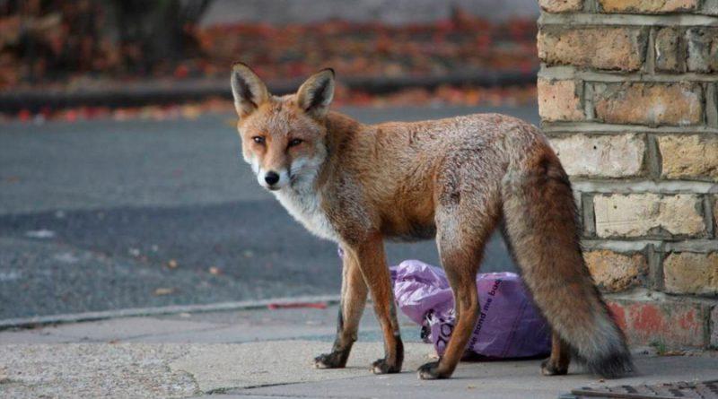 ¿Animales salvajes entrando en las ciudades por la cuarentena?: sí, pero también hay muchas 'fake news'