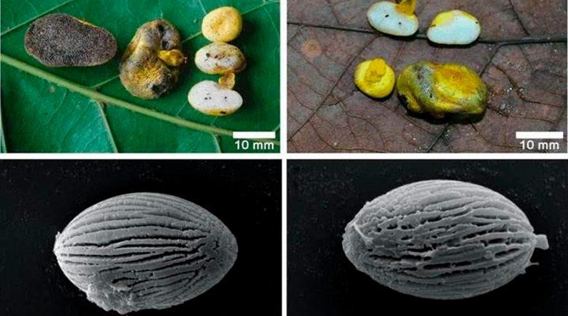 Un nuevo hongo solo forma simbiosis con raíces de plantas autóctonas